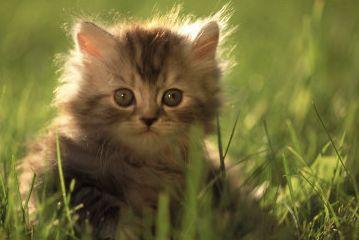 """Предпросмотр схемы вышивки  """"Маленький котенок """" ."""